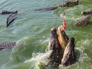 Crocodile farm (crocodiles in Vietnam)